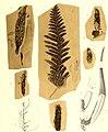Die fossile Flora der Permischen Formation (1864) (20916320535).jpg