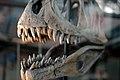 Dinosaur Skull (278696372).jpg