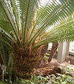 Dioon spinulosum male BotGardBln0712201A.jpg