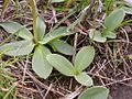 Dodecatheon conjugens leaves (3525589362).jpg