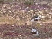 File:Double-banded Plover (summer).ogv