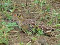 Double-banded Sandgrouse (Pterocles bicinctus) male (6041122781).jpg