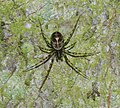 Drapetisca socialis (Invisible Spider) - Flickr - S. Rae.jpg