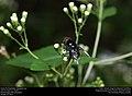 Drone Fly (Syrphidae, Copestylum sp.) (30421551864).jpg