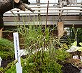 Drosophyllum lusitanicum (2), exhibition in Botanical garden Brno.JPG