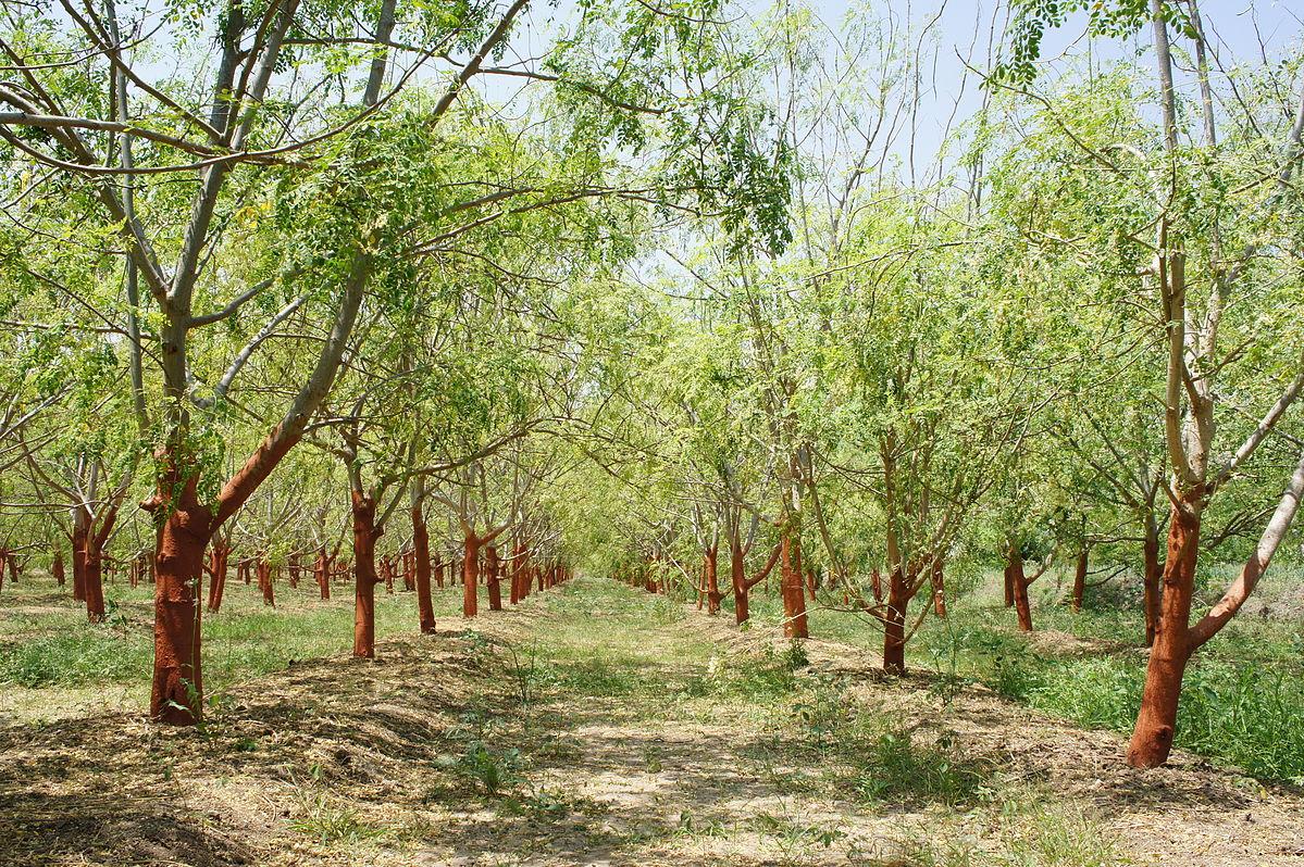 File:Drumstick tree (Moringa oleifera).jpg