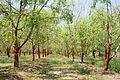 Drumstick tree (Moringa oleifera).jpg