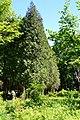 Dubechne Starovyzhivskyi Volynska-Dubechnivskyi park architecture monument-Thuja occidentalis.jpg