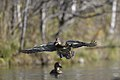 Duck in flight.BDT8258.jpg