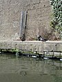 Duck near Maida Hill Tunnel - panoramio.jpg