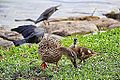 Duckling with mom (10691204855).jpg