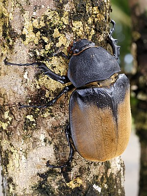 8 cm long female Hercules beetle at Cahuita, C...