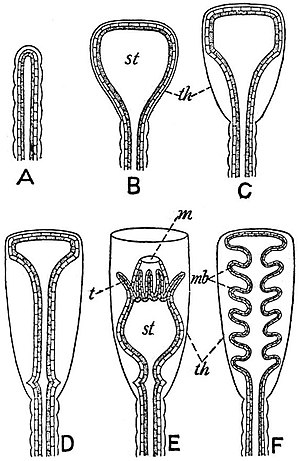 EB1911 Hydromedusae - formation of the Hydrotheca and Gonotheca in Calyptoblastic Hydroids.jpg