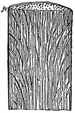 EB1911 Plants - vertical section of a palm-stem.jpg