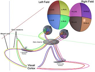 Visual system - Representation of optic pathways from each of the 4 quadrants of view for both eyes simultaneously.