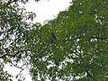 East Bornean Grey Gibbon (Hylobates funereus) (8077022229).jpg