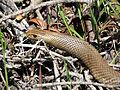 Eastern Brown Snake (Pseudonaja textilis) (8256556779).jpg