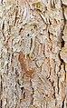 Eastern Hemlock (Tsuga canadensis) - Flickr - wackybadger (2).jpg