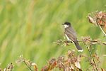 Eastern Kingbird 7014.jpg