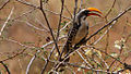Eastern Yellow-billed Hornbill.jpg