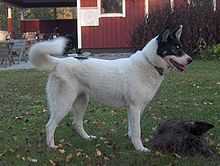 Image Result For White Siberian Husky