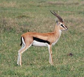 Thomson-Gazelle (Eudorcas thomsoni)