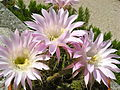 Echinopsis flower.jpg