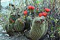 Echinopsis rowleyi (1).jpg