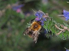 Echium-vulgare-bumblebee-0a.jpg
