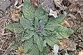 Echium plantagineum kz6.jpg