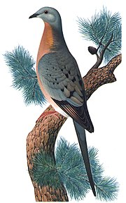 The passenger pigeon, one of several species of extinct birds, was hunted to extinction over the course of a few decades.