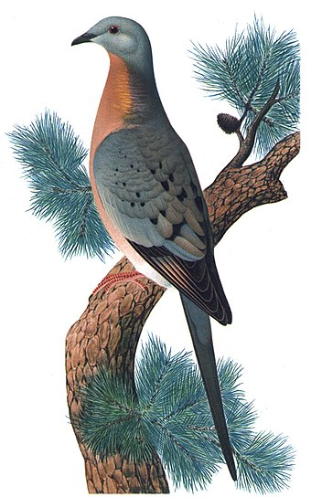 The passenger pigeon, one of hundreds of species of extinct birds, was hunted to extinction over the course of a few decades Ectopistes migratoriusMCN2P28CA.jpg