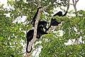 Ecuadorian mantled howler (Alouatta palliata aequatorialis) family group.jpg