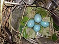 Eggs of birds found near the window of my aunt's home.jpg