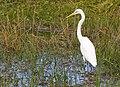 Egret in Bells Creek-01+ (493013269).jpg