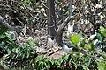 Egretta dimorpha (21571482504).jpg