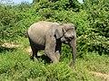 Eléphant-Uda Walawe National Park (5).JPG