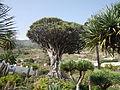 El Drago millenario, Dracaena draco, Icod de los vinos, Tenerife.JPG