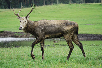 Cervinae - Père David's Deer (Elaphurus davidianus)