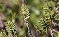 Elephant Tree (Bursera microphylla) - leaf (25514469990).jpg
