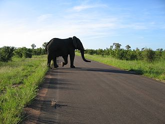 Great Limpopo Transfrontier Park - Image: Elephant crossing the road in Kruger National Park