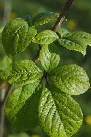 Eleutherococcus senticosus - Eleutherococcus senticosus leaves
