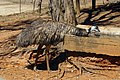 Emu (Dromaius novaehollandiae) drinking water from a water trough 04.jpg