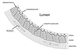 Vascular smooth muscle - Diagram showing the location of vascular smooth muscle cells.
