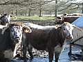 English Longhorn Cattle - geograph.org.uk - 1180341.jpg
