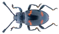 Engonius gratus (Gorham, 1891) (34921535613).png