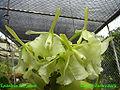 Epidendrum barbeyanum001.jpg