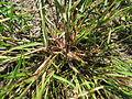 Eragrostis pilosa70 stem base1 (8677119647).jpg