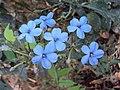Eranthemum capense at Nedumpoil (10).jpg