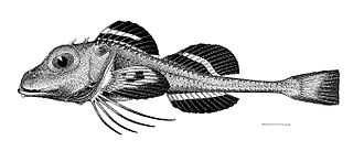 Ereuniidae - Ereunias grallator